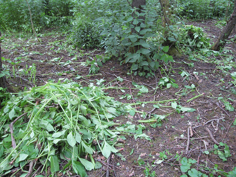 Himalayan Balsam removal at Harefield Place