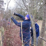 Hedgelaying in Stoke Poges
