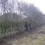 Hedgelaying in Little Marlow
