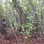 Coppicing in Nettleship Wood, Stoke Poges