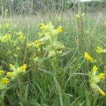 Yellow Rattle wildflower