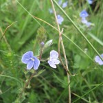 Speedwell wildflower