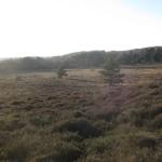 Pine pulling at Arne RSPB reserve