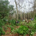 Rhododendron bashing in Little Halings Wood, Denham