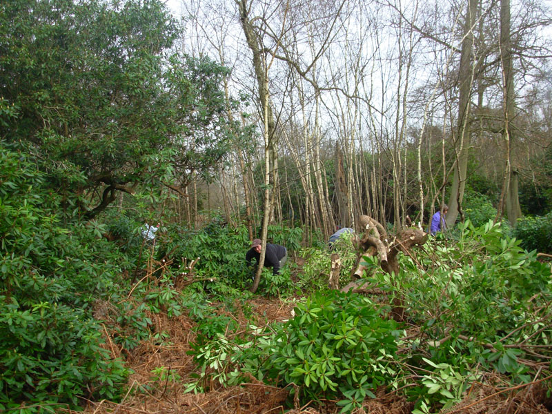 Rhododendron bashing in Little Halings Wood, Denham