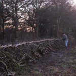 The hedge is taking shape